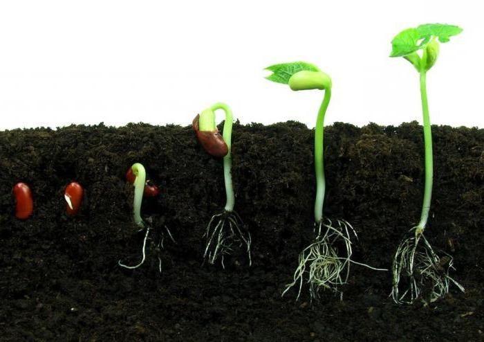 Стадии прорастания семени