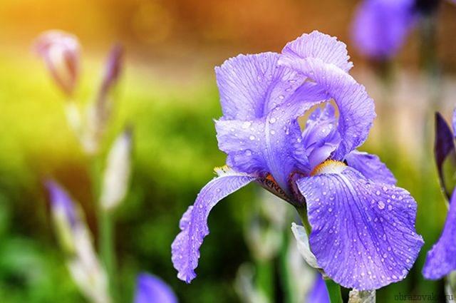 Цветок ирис ударение