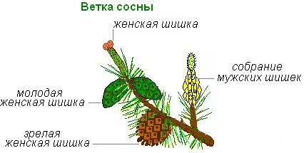 строение семени ели