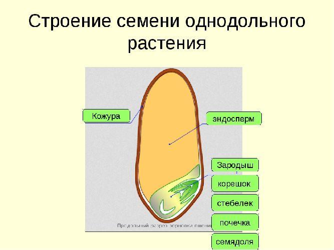 рисунок семени биология 6 класс строение