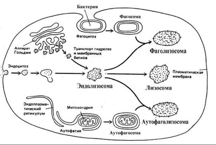 Процесс образования лизосом