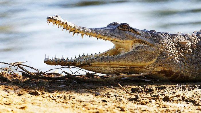 Озеро Виктория, крокодилы