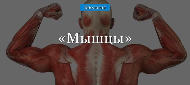 Доклад на тему мышцы по биологии 3062