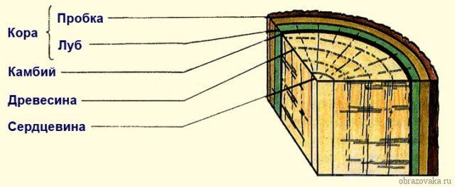 Внутрение строение стебля