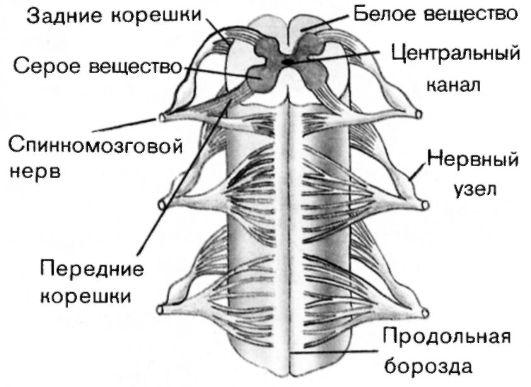 Спинной мозг – строение и функции у человека кратко (8 класс)